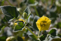 Physalis crassifolia - Yellow Nightshade Groundcherry 10+ Samen - Saatgut Seeds