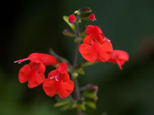 SCARLET RED SAGE Salvia Coccinea Flower Seeds - (10 seeds) F-102