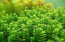 Bunched Rotala Indica Live Aquarium Plant Indian Toothcup Plants