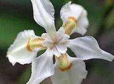 Dietes butcheriana | Wide leafed Dietes | Wild Iris | 10 Seeds