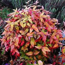 DWARF SACRED HEAVENLY BAMBOO nandina domestica nana plant in 140mm pot