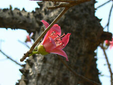 9 Semillas - Árbol Algodonero Rojo  - BOMBAX CEIBA - Samen - Semi - Tree Seeds