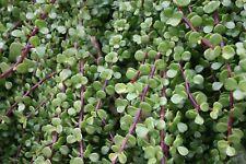 X2 Portulacaria Afra - Elephant Bush / Dwarf Jade Succulent (15cm Cutting)