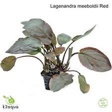 Lagenandra meeboldii Red - Live Aquarium Plant Shrimp Safe Co2 Scape Tank EU