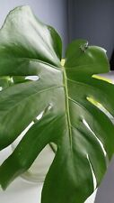 MONSTERA DELICIOSA ONE LEAF PLANT WITH STRONG ROOT LIVE HELP SAVE AMAZON FOREST