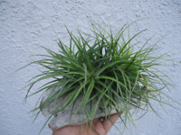 Tillandsia Stricta Green Cluster Air Plants
