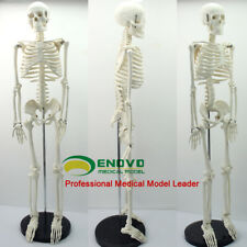 Skeleton School Medical Model 85cm Human Anatomical Anatomy Stand Proportional @