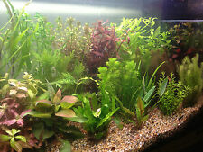 Live Aquarium Aquatic Plants SPECIAL OFFER SELECTION - Bunched Potted and Loose