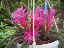 Bouture Cutting  Aporocactus  flagelliformis - Queue de rat