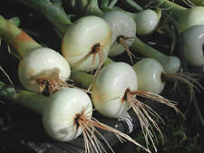 150 CRYSTAL WHITE WAX ONION SEEDS 2018 ( $3.00 MAX SHIPPING! )