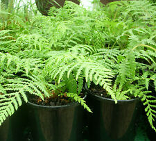 Dicksonia antarctica - Soft Tree Fern - Awesome Aussie!