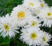 Leucanthemum 'Crazy Daisy' / Hardy perennial / 150 seeds