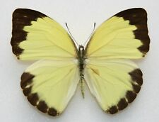New listing Butterfly  x1 female Nepheronia argia argia (Ghana)  form D