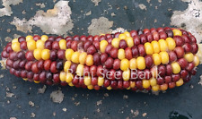 Corn Glass Gem Kanak - A Beautiful Multicoloured Glass Gem Corn Variety!!!
