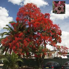 Brachychiton Discolor - Bottle Tree Kurralong - Rare Tropical Plant Seeds (10)