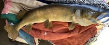 Large Real Skin Mount Northern Pike Fish Muskie Musky Taxidermy Nice