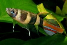 6 Annulatus killifish