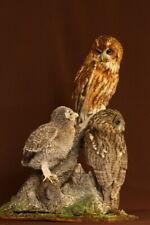 Taxidermy stuffed birds - T. owl family