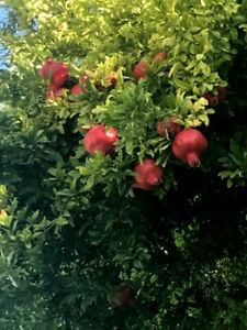 Granatapfel Punica granatum Granatapfelbaum -12°C frosthart veredelt 180cm !