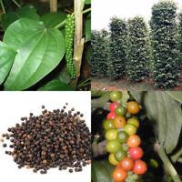 50 seed Piper nigrum Seeds Black pepper Heirloom Seeds Spice herb Plant
