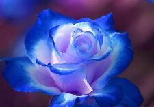 ROSA DOUBLE BLUE ROSES - RARISSIMA 50 semi / seed