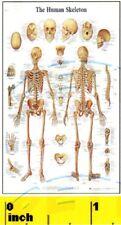 DOLLSHOUSE Mini Doctor, Physician, Medical, Anatomy  Skeleton Poster - CDHM 1:12