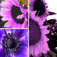 100 Teile / beutel Seltene Lila Sonnenblumenkerne Blume Hausgarten Im Freien