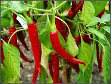 Ring of Fire Chili 5+ seeds