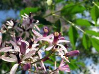 5 Semillas de Melia Azedarach (Cinamomo)