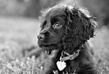 Framed Print - Black & White Spaniel Puppy Sitting in the Grass (Picture Animal)