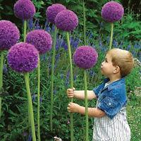 New 10Pcs Purple Giant Allium Giganteum Flower Seeds Garden Plant Beautiful