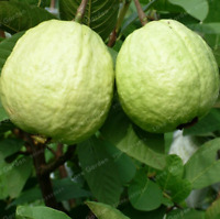 Guava Bonsai Delicious Tropical Fruit Plants Tree Home Garden NEW 100 Pcs Seeds