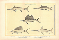 "1902 Antique Print Spearfish Swordfish Maritime 10X6"" Dodd Mead & Co."