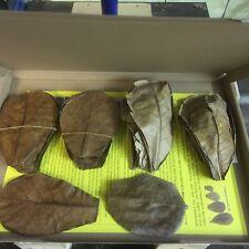 50 g Seemandelbaumblätter / Catappa Leaves ca50Stk/10-15cm-sehr wirkstoffhaltig
