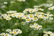 ROMAN CHAMOMILE Chamaemelum Nobile Herb Flower Seeds fresh 2020 pkt of 300
