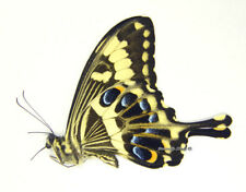 Unmounted Butterfly/Papilionidae - Papilio ophidicephalus ophidicephalus M