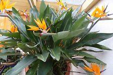 Strelitzie Paradiesvogelblume  - exotische Pflanze Jungpflanze bizarre Blüten