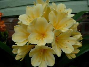 Clivia Seeds - Morris Yellow x Cream Spider - 8 Seeds