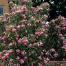 Sauce del Desierto - CHILOPSIS LINEARIS - 10 Semillas - Jardín Garden Samen Semi