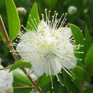 25 Graines de Myrte Commune - fleurs plante aromatique méthode BIO