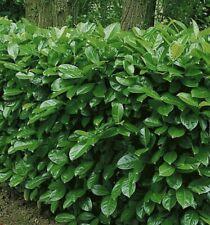 10x cherry laurel hedging/tree seeds 10 seeds