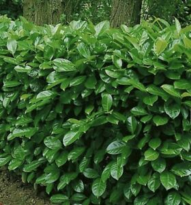 10x cherry laurel Evergreen hedge/ tree seeds 10 seeds