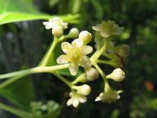 Huile essentielle de Ravintsara pure et naturelle
