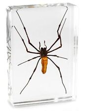 Real Long-jawed Orb Weaver Spider Insect Paperweight Specimen - XXL Block