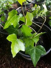 Ivy English Hedera - 3 live Plants - Climbing Vine - shade sun GroCo Plant Usa