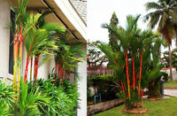 50 Cyrtostachys Renda Lakka Lipstick Palm Seeds Tropical Plant Red Tree Bonsai