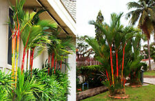 50 Cyrtostachys Renda Lakka Lipstick Palm Seeds Tropical Plant Red Tree Bonsai