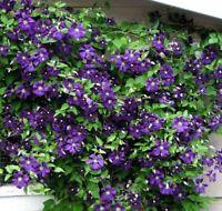 """Jackmani Variety Superba Clematis Vine Live Plant Outdoor Garden 2.5"""" Pot"""