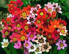 SPARAXIS TRICOLOUR MIXED 15 BULBS SUMMER FLOWERING READY TO SHIP FREE P&P
