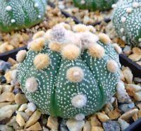 H- 100 FRESH SEEDS Astrophytum asterias cv Ooibo